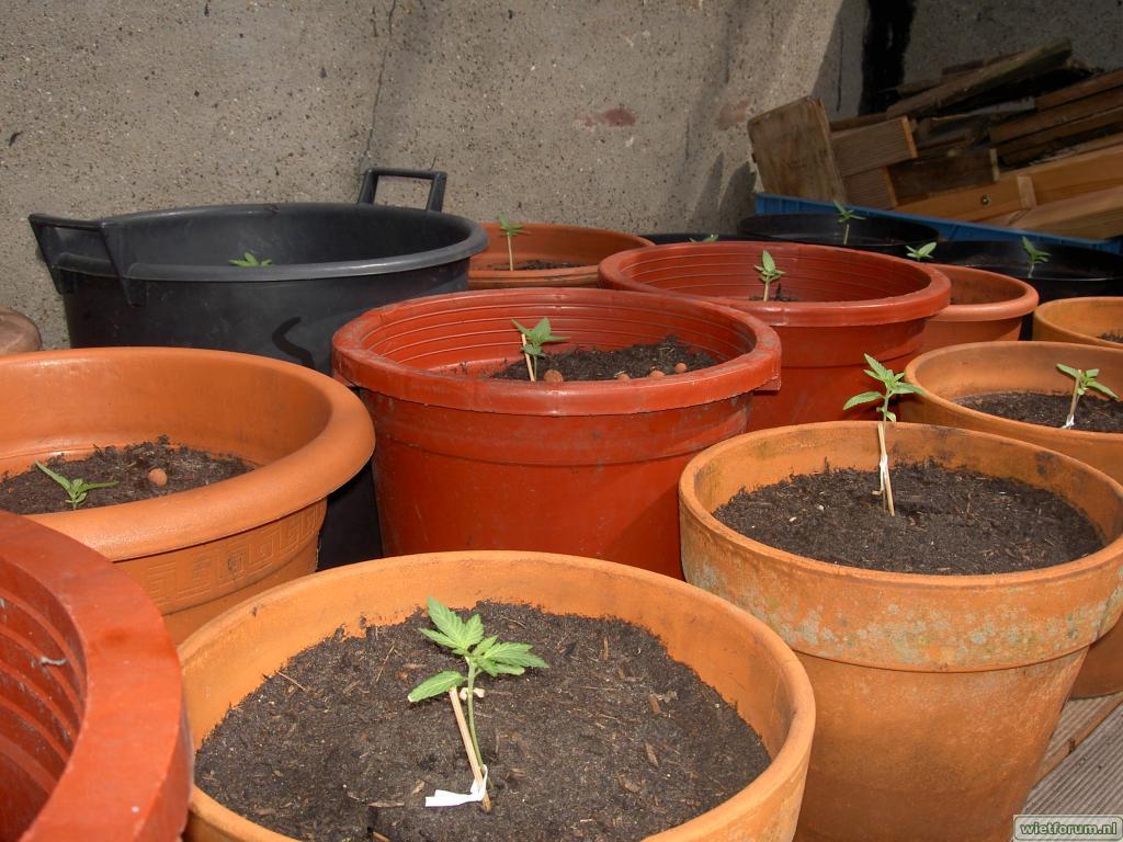 Ierdbei, Shack, Orange Bud, Cambodian 7 mei 2009 II.JPG