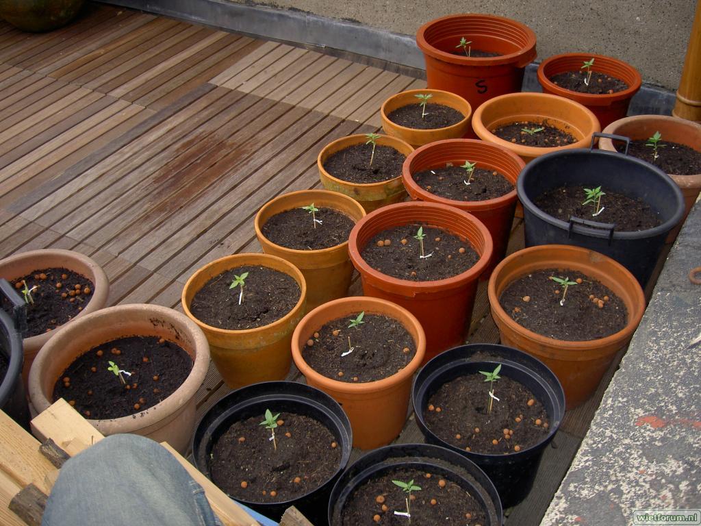 Ierdbei, Shack, Orange Bud, Cambodian 7 mei 2009 III.JPG