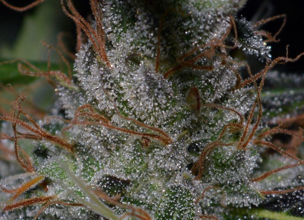 frosttrif