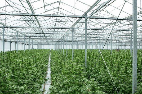 Epidiolex-cannabidiol-or-CBD-Cannabis-Sativa-plants-in-glasshouse.jpg