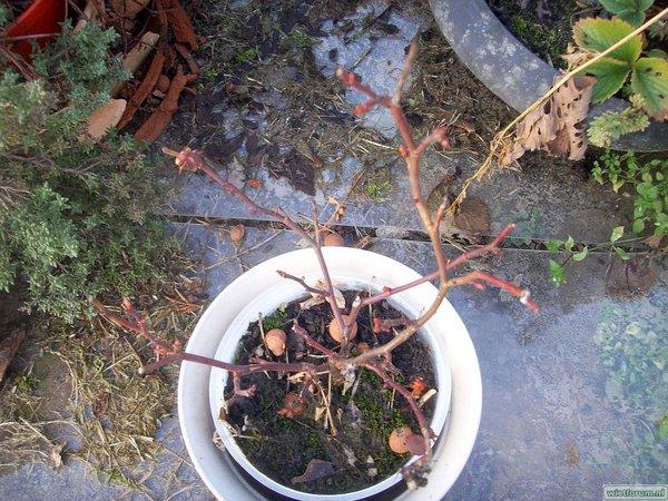 Tuin - 2011-02-03 - Roosje - 1.JPG