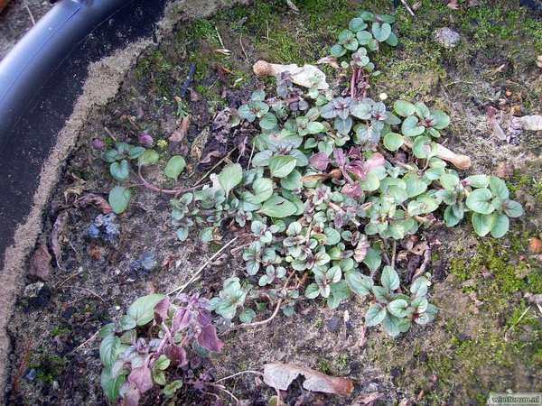 Tuin - 2011-02-03 - Oregano (Kuip) - 1.JPG