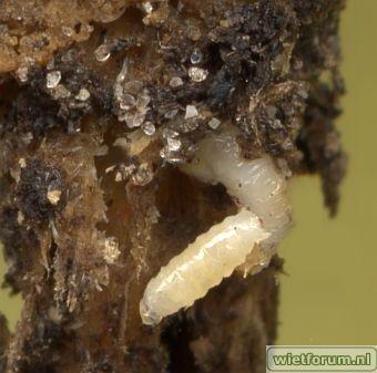 Koolvlieg larve.jpg