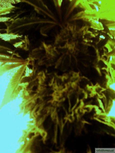 eerste bloei northernlight6.2.jpg