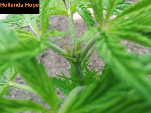hollands hope 2