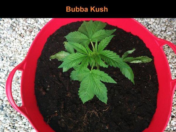 bubba kush 1