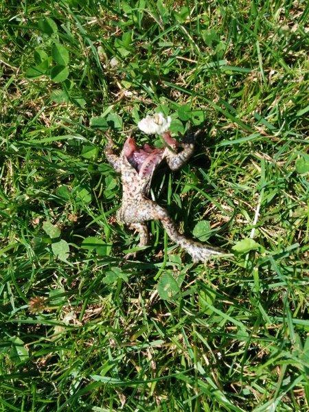 dode kikker