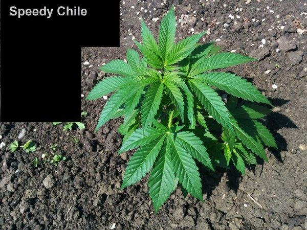 speedy chile 2