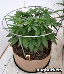 tomato ring marijuana control Xsm