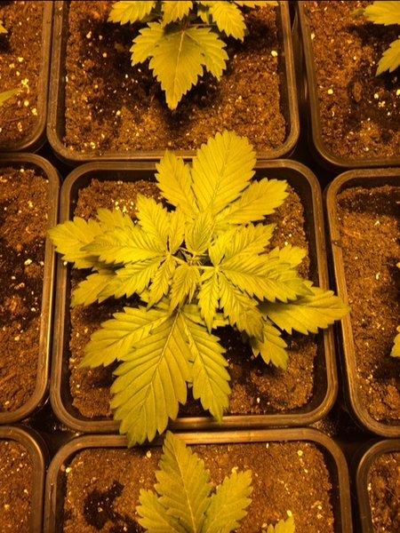 Dag 17 groei