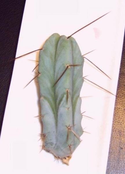 cactus f-kl.JPG