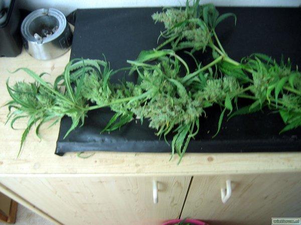 Grow Aptus Amn einde kweek -57-.jpg