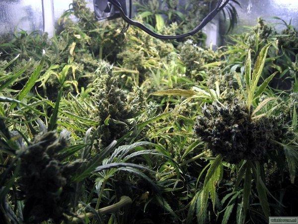 Grow Aptus Amn einde kweek -48-.jpg