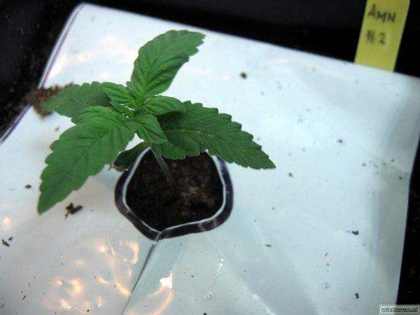 AS Grow Test Grow