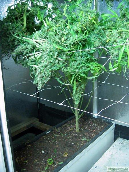 Grow Aptus Amn einde kweek -53-.jpg
