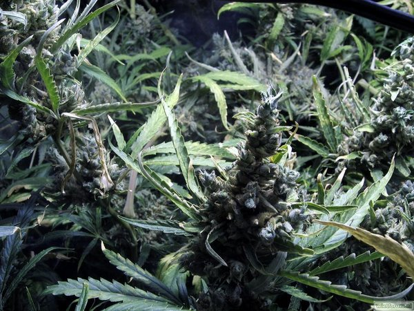 Grow Aptus Amn einde kweek -50-.jpg