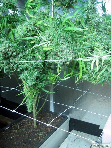 Grow Aptus Amn einde kweek -54-.jpg