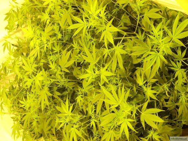 30 x edelweiss