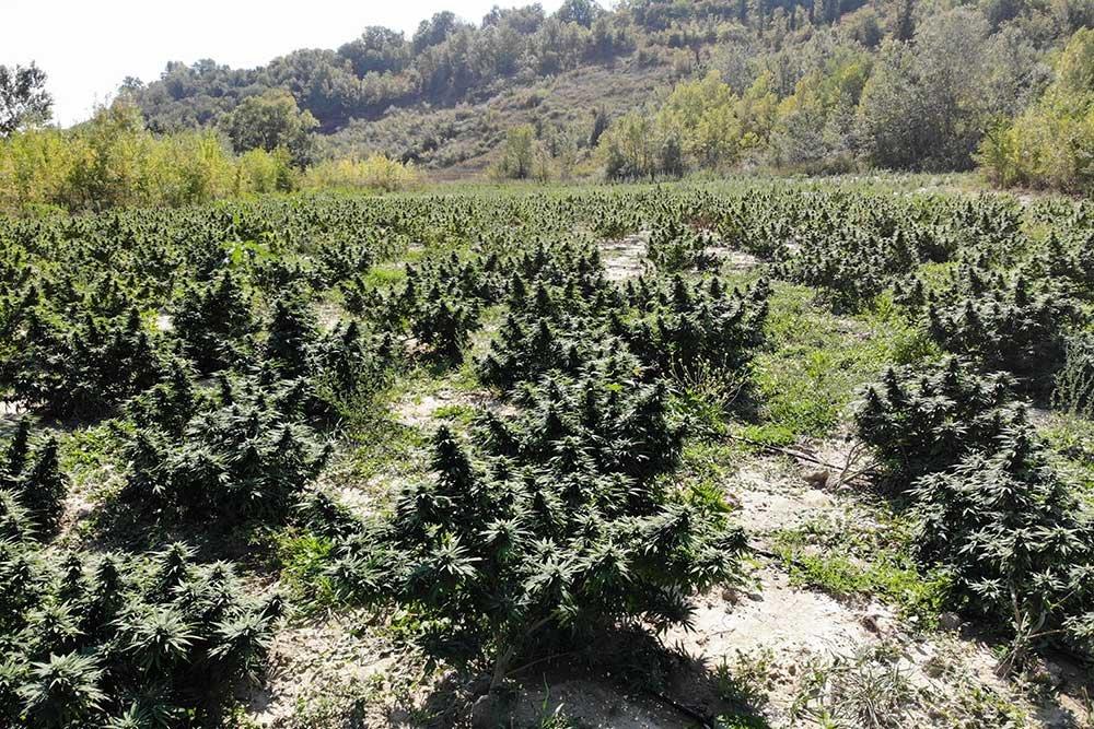 DJI_0452-campo-canapa-hemp-farm-italia-fioritura-1000x667.jpg.7cbbc6940740c92c2eb6f85fc4af41a7.jpg