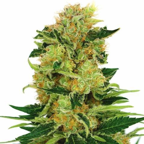 pineapple-haze-marijuana-seeds_large.jpg.62fc0a332f973a753040a3a85d76ff08.jpg