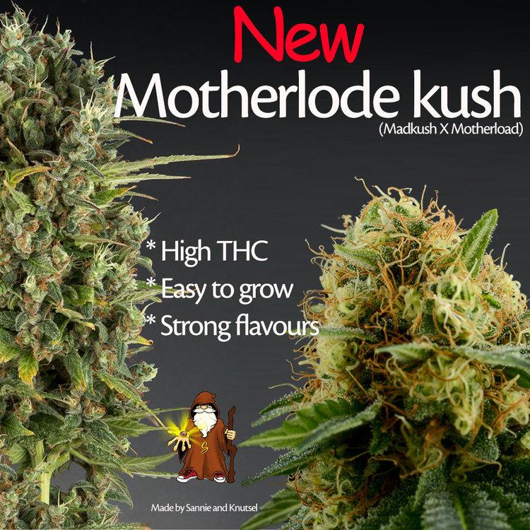Motherlode Kush feminized cannabis zaden te koop in sanniesshop