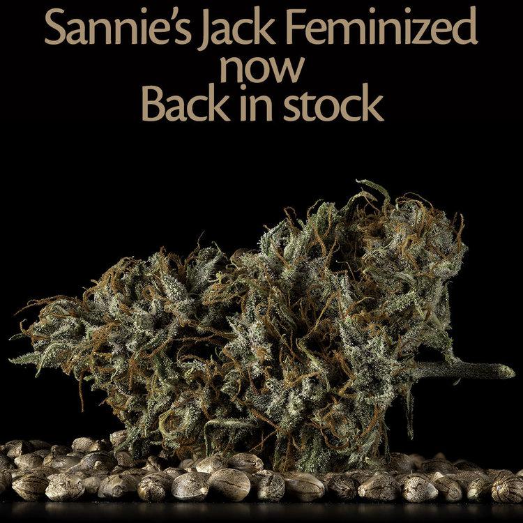 Sanniesjack feminized cannabis zaden te koop in sanniesshop