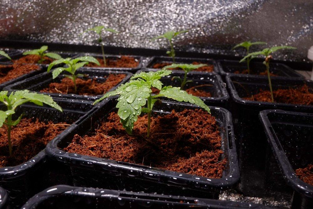 1313881_mean-green-green-gelato-grow-rqsroyal-queen-seedsgreen-gelat.thumb.jpg.4ef4fc1a897bc383c9647eb2d5f2c4ab.jpg