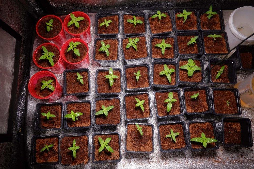 1313882_mean-green-green-gelato-grow-rqsroyal-queen-seedsgreen-gelat.thumb.jpg.31c9064c15f86be8d20ce5f273fff086.jpg