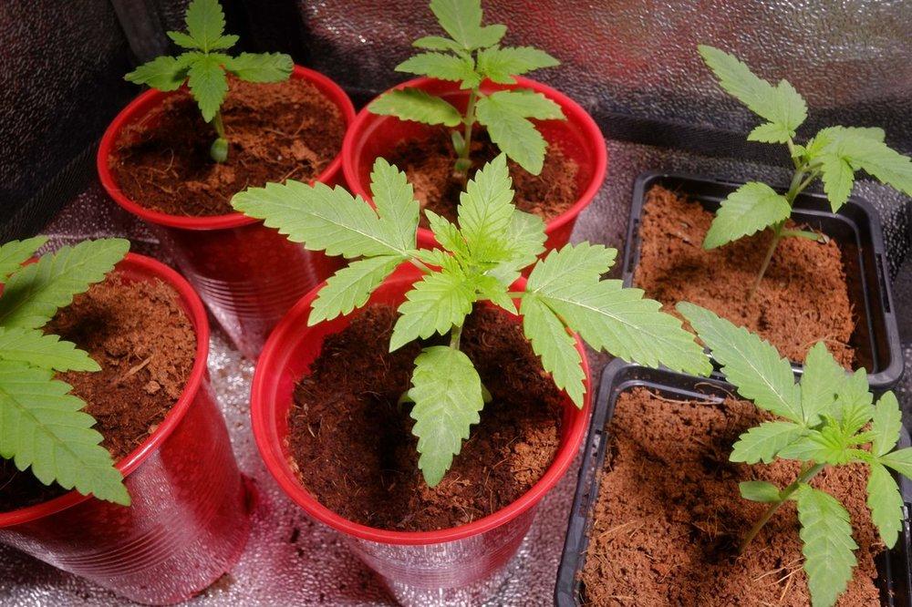1321826_mean-green-green-gelato-grow-rqsroyal-queen-seedsgreen-gelat.thumb.jpg.246003ffdc2b8cf9908e09cc4072a322.jpg
