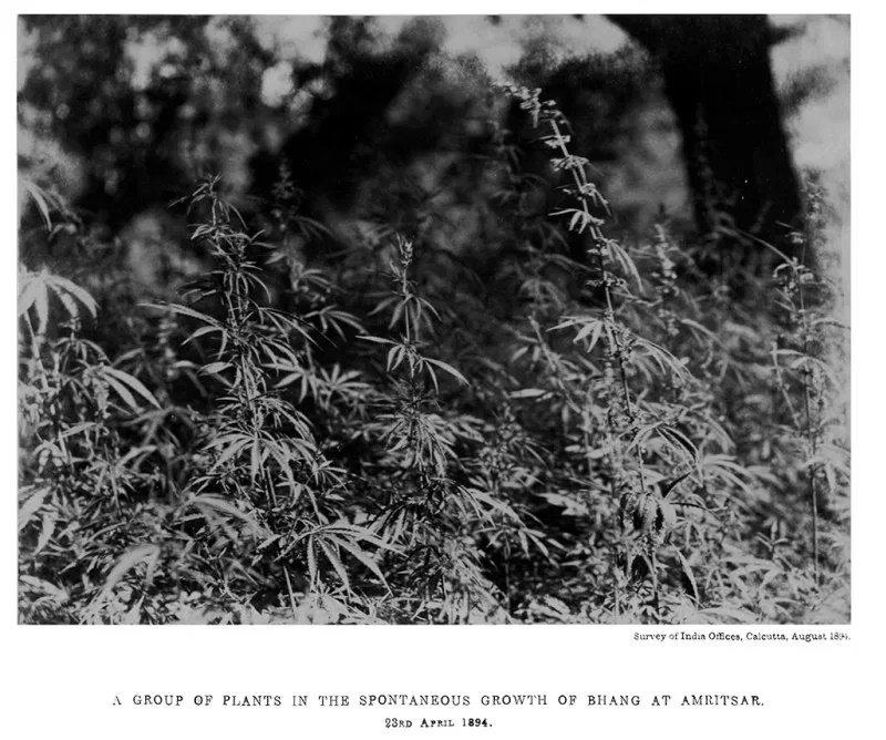bhang_plants_1894.jpg.b25bea972b369fc97d0bc7ff2e071af1.jpg