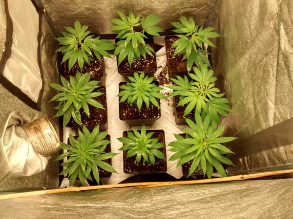 3x Sannie Jack x Ace Seeds Purple Haze x Cali Connection LARRY OG Kush 2x Nirvana Seeds Top 44 2x Jack Herer DHS 2x Senseble Seeds Gorilla Glue.jpg